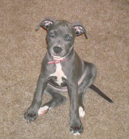 Roxy The American Pitbull Terrier American Pitbull Terrier Pitbull Terrier Puppies American Pitbull Terrier Puppy