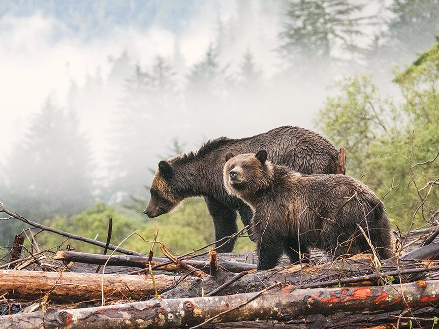 Nature Canada Bears by Susanne Southon Canadian