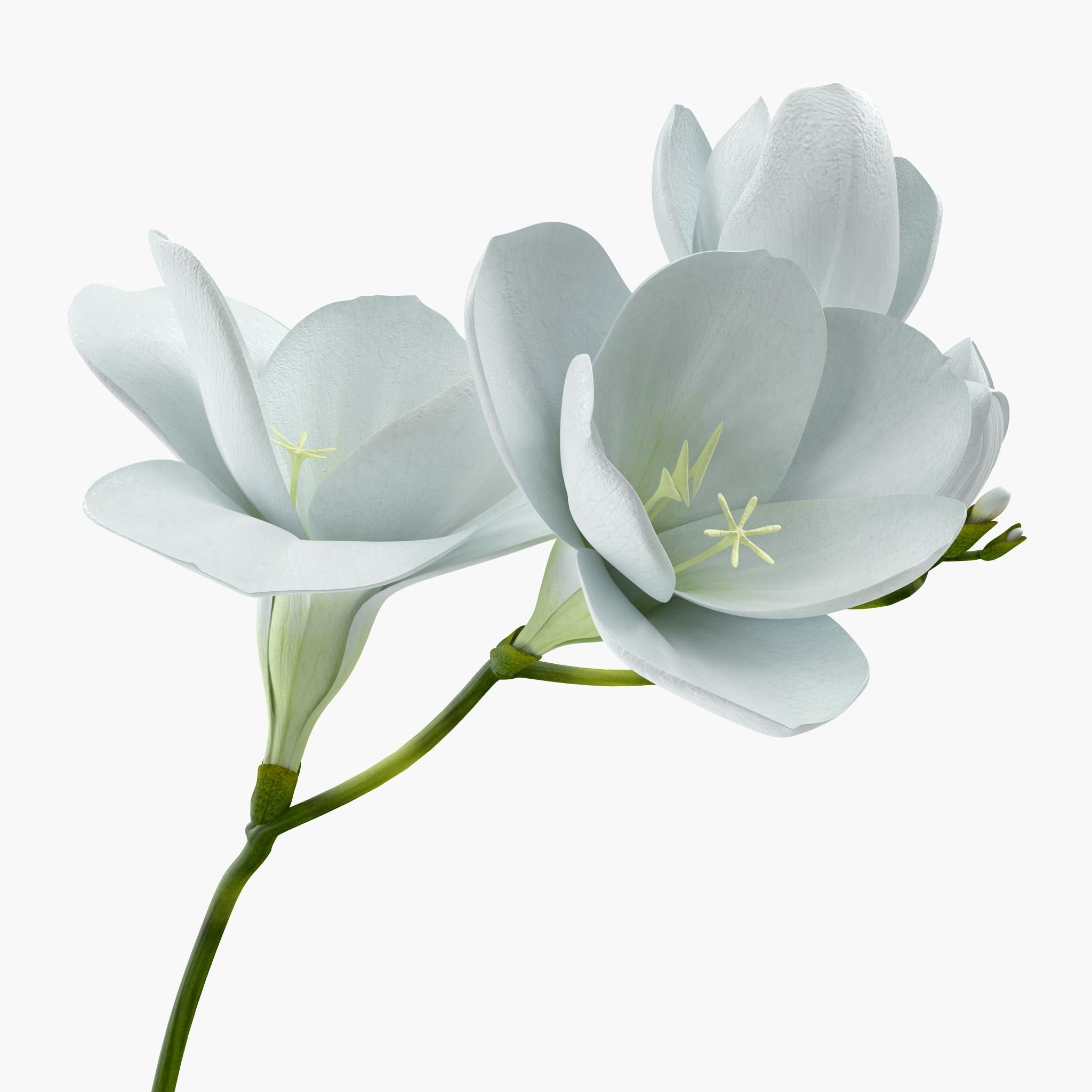 White Freesia Flower 3d Model Ad Freesia White Model Flower Freesia Flowers Freesia Flowers