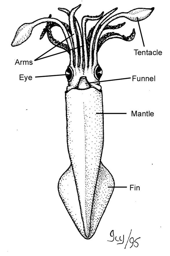 Squid A Diagram Of All The Body Parts Efl Food Culinary