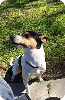 Facts about Jefferson Breed: Jack Russell Terrier Color
