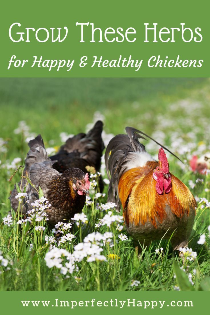 Healthy Herb Garden Chickens Will Love  Top 16 Herbs is part of Herbs for chickens, Chicken garden, Free range chickens, Diy chicken coop, Chickens backyard, Building a chicken coop - Healthy Herb Garden Chickens Will Love  the top 16 herbs for chickens! Herbs and herbal health aren't just for us; they are great for our chickens too