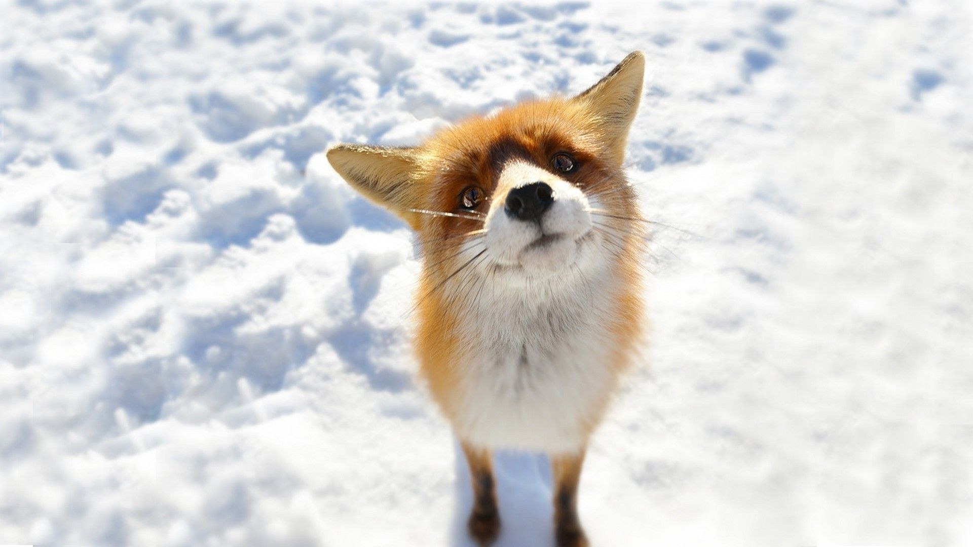 anime, Snow, Fox, Animals Wallpapers HD / Desktop and