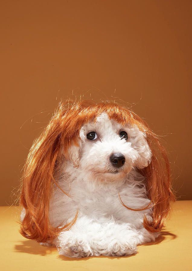 Puppy Wearing Ginger Wig By Martin Poole Animal Photo Pets Puppies