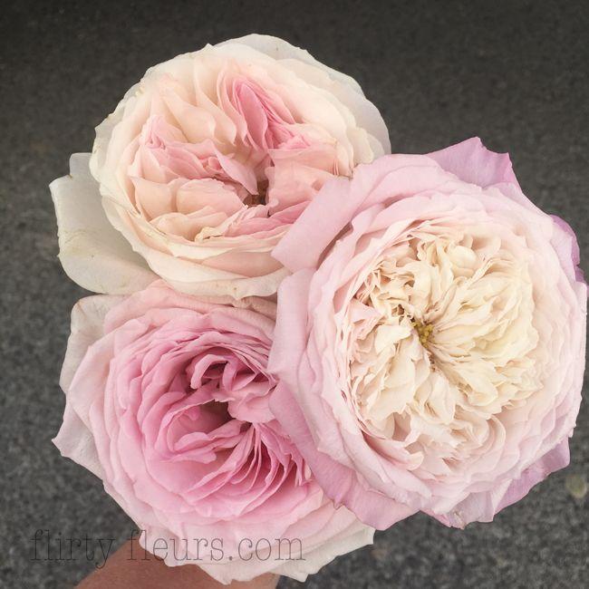 Pink Garden Roses David Austin Kiera And Constance Pink O Hara