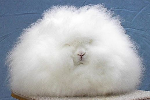 It's amazing, but this furry creature is Angora rabbit, and in 2006 even won awards from the association of breeders of American rabbits.