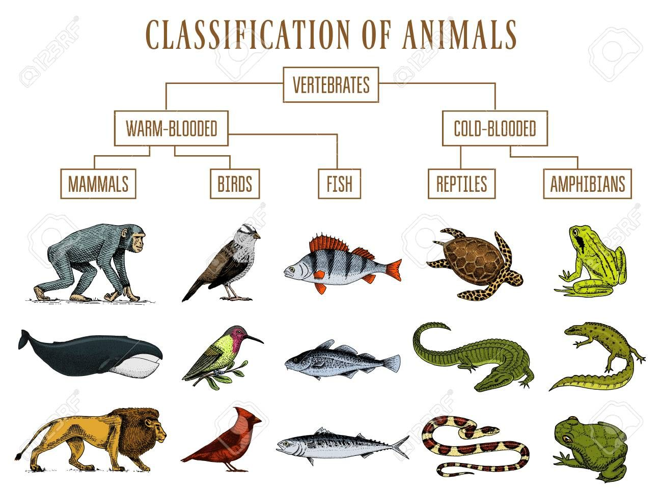 Classification of Animals. Reptiles amphibians mammals birds. Crocodile  Fish Lion Whale Snake Frog. Education diagra… | Reptiles and amphibians,  Amphibians, Mammals