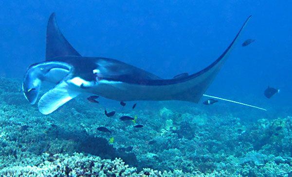 Glass Bottom Manta Ray Watch   Blue Sea Cruises - something