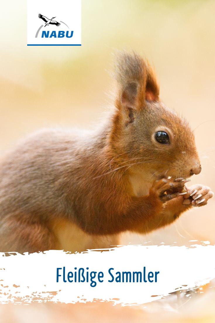 20 Eichhörnchen Ideen   eichhörnchen, eichhörnchen basteln, herbst ...