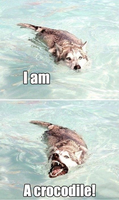 Crocodile Husky entwickelt sich weiter #animalcaptions