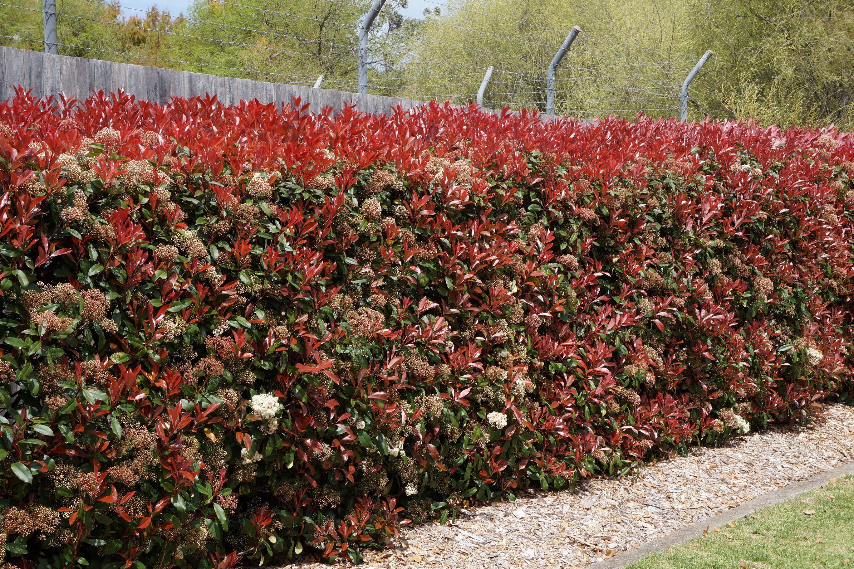 photinia x fraseri red robin hedge google search landscape garden pools exteriors etc. Black Bedroom Furniture Sets. Home Design Ideas