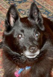 Adopt Miss Tilly On Schipperke Dog Humane Society Dogs
