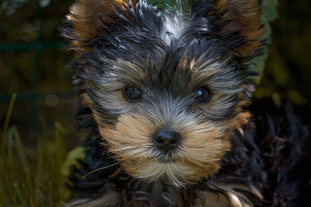 The Kennel Club On With Images Yorkshire Terrier Yorkshire