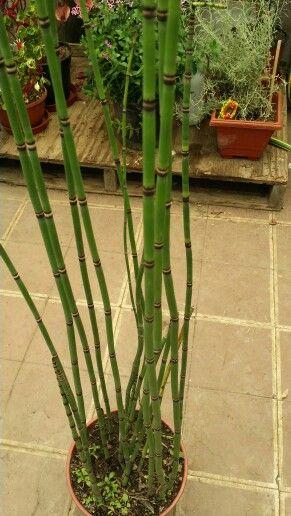 Hierba Del Platero Cola De Caballo Limpia Plata Gaye Nombre Científico Equisetum Bogotense Distribuc Container Gardening Interior And Exterior Exterior