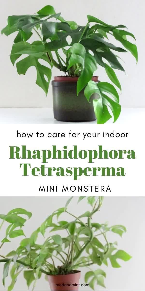 Photo of Indoor Rhaphidophora Tetrasperma Plant Care – Have you met the Mini Monstera?