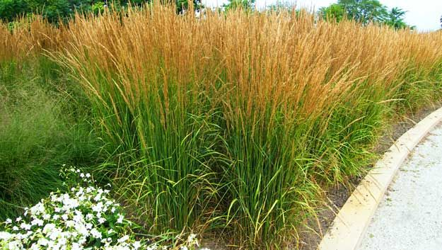Tall garden grasses grasses can also be important for for Landscaping ideas using ornamental grasses