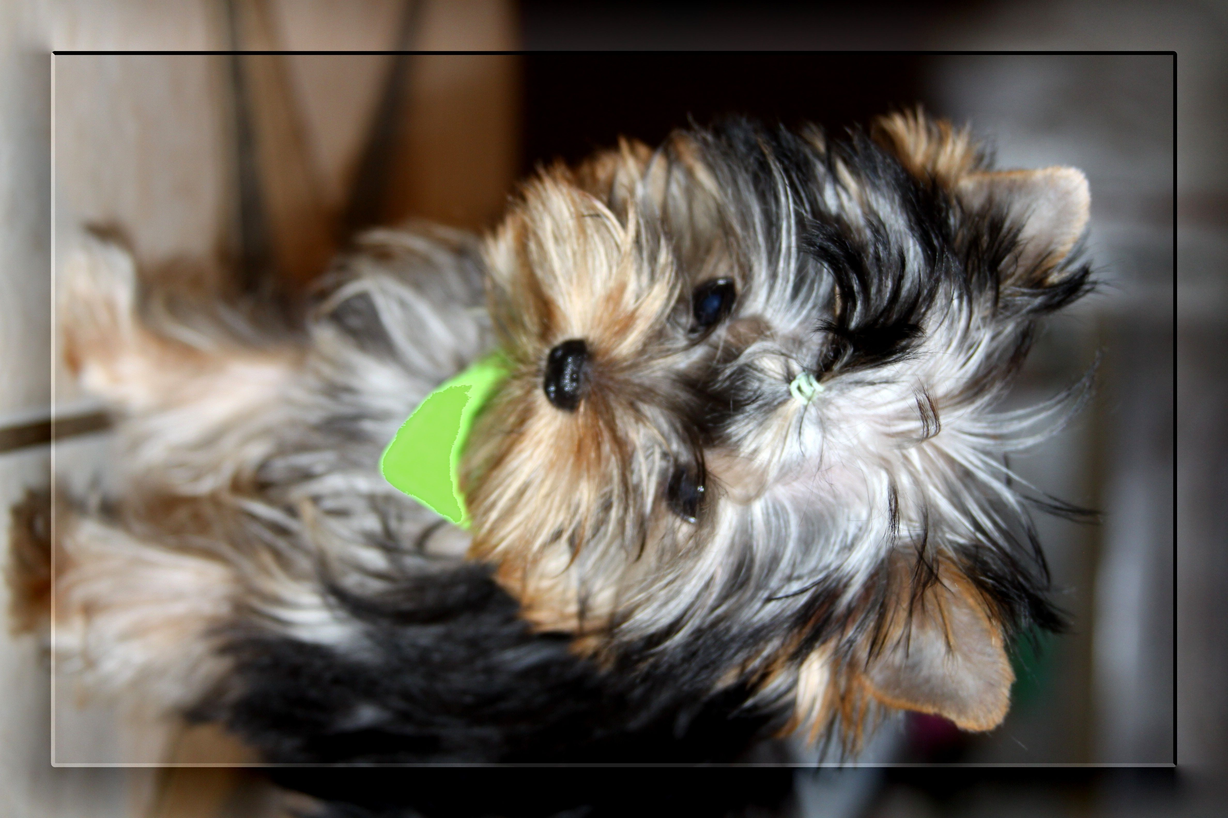 Wild West Yorkies Yorkie Pet Dogs Puppies Yorkie Puppy For Sale