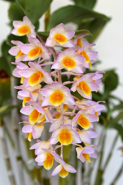 Pin On Orchid Flowers Their Colors Beauty Diversity And Design Patterns