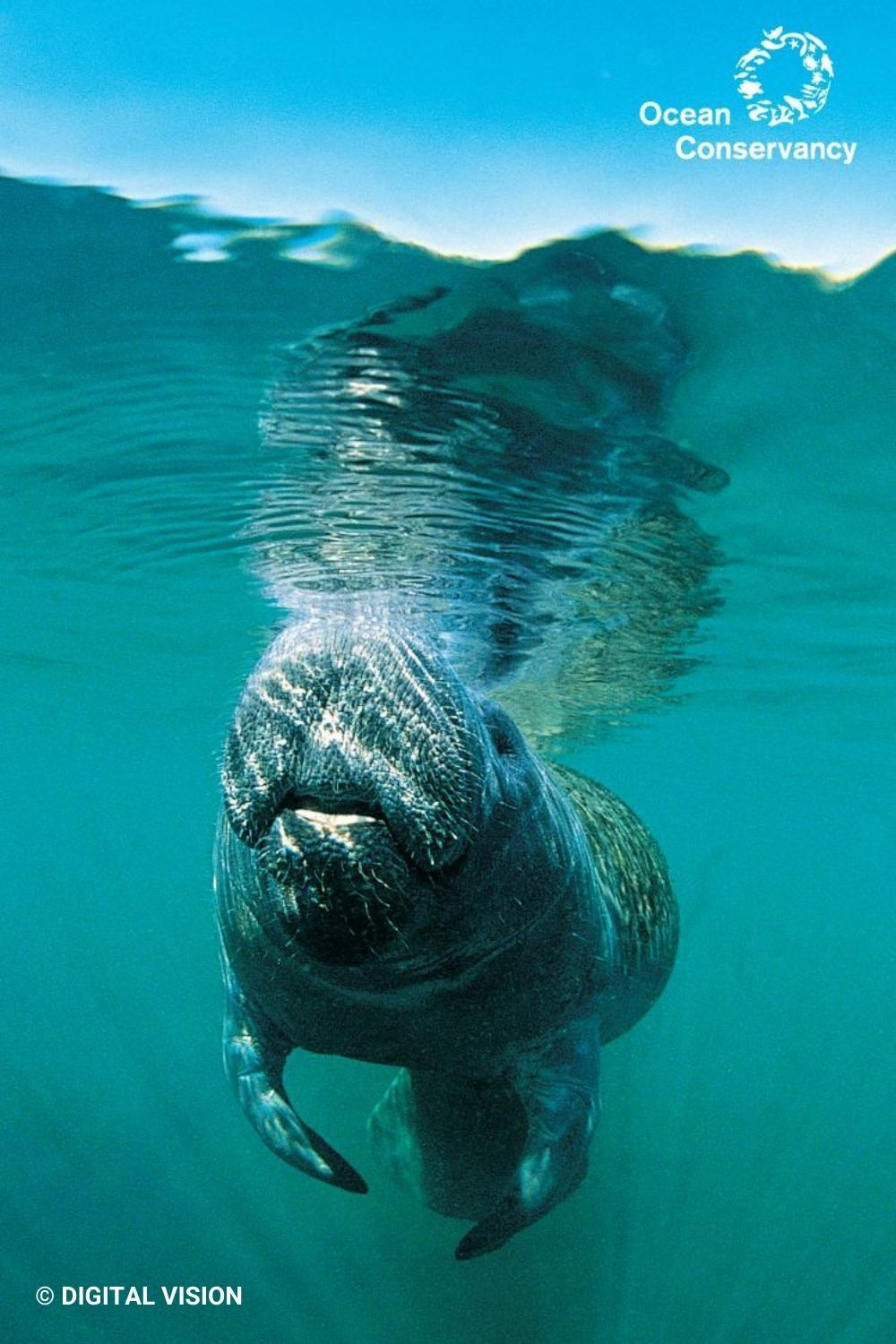 Free Manatee Wallpaper Ocean Inspiration Calming Backgrounds In This Moment