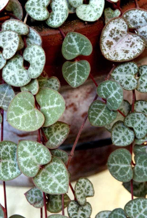 Cha ne des c urs ceropegia woodii le coeur coeur et for Plantes vertes en ligne