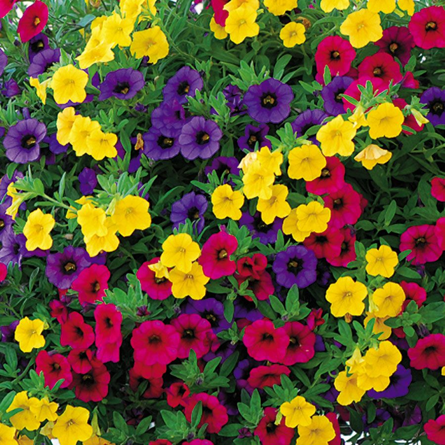Minifamous Calibrachoa  I Found These At WalMart And At Lowes. They Grow  Quickly.