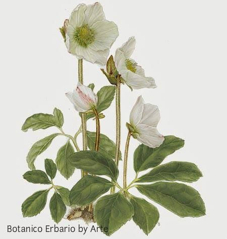 I think christmas rose are one of the most beautiful flowers painted beautifully here