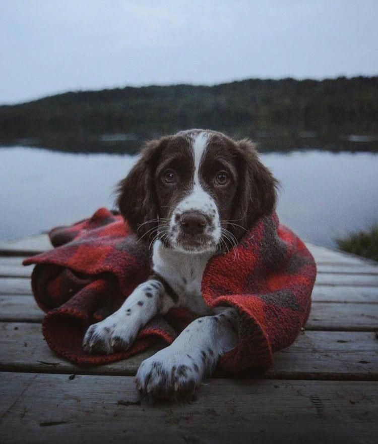 Pin On For The Love Of Springers