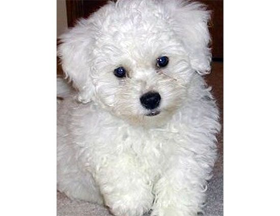 Pitbull Poodle Mix Poodle Pitbull Mix Picture Dog Breeds