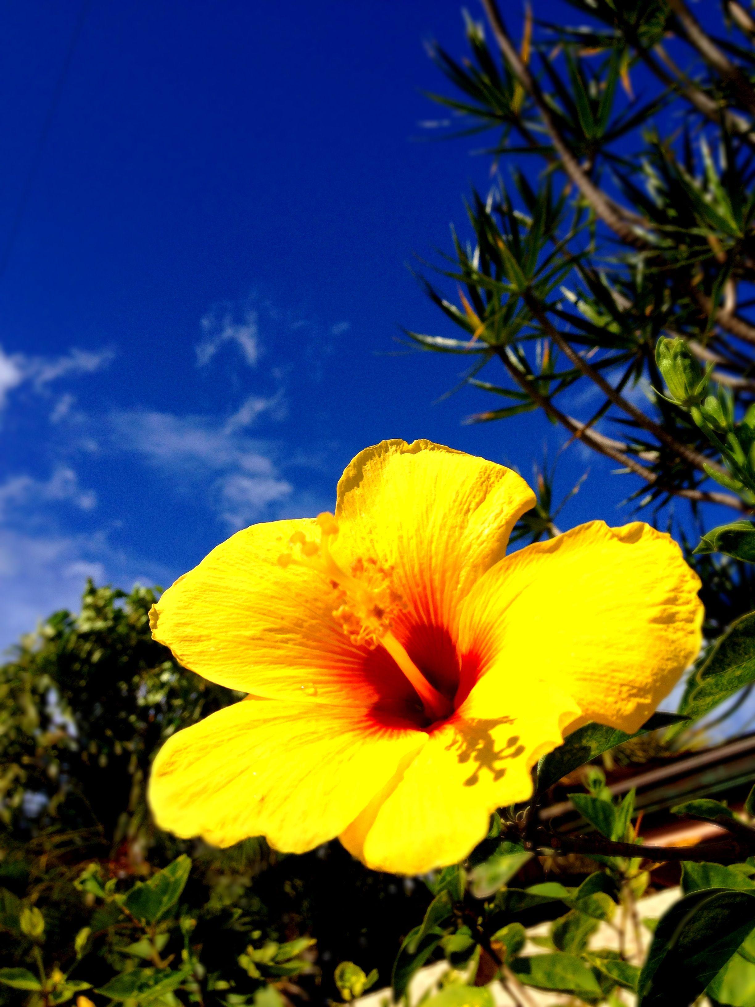 Hawaiis state flower the yellow hibiscus all things aloha hawaiis state flower the yellow hibiscus izmirmasajfo