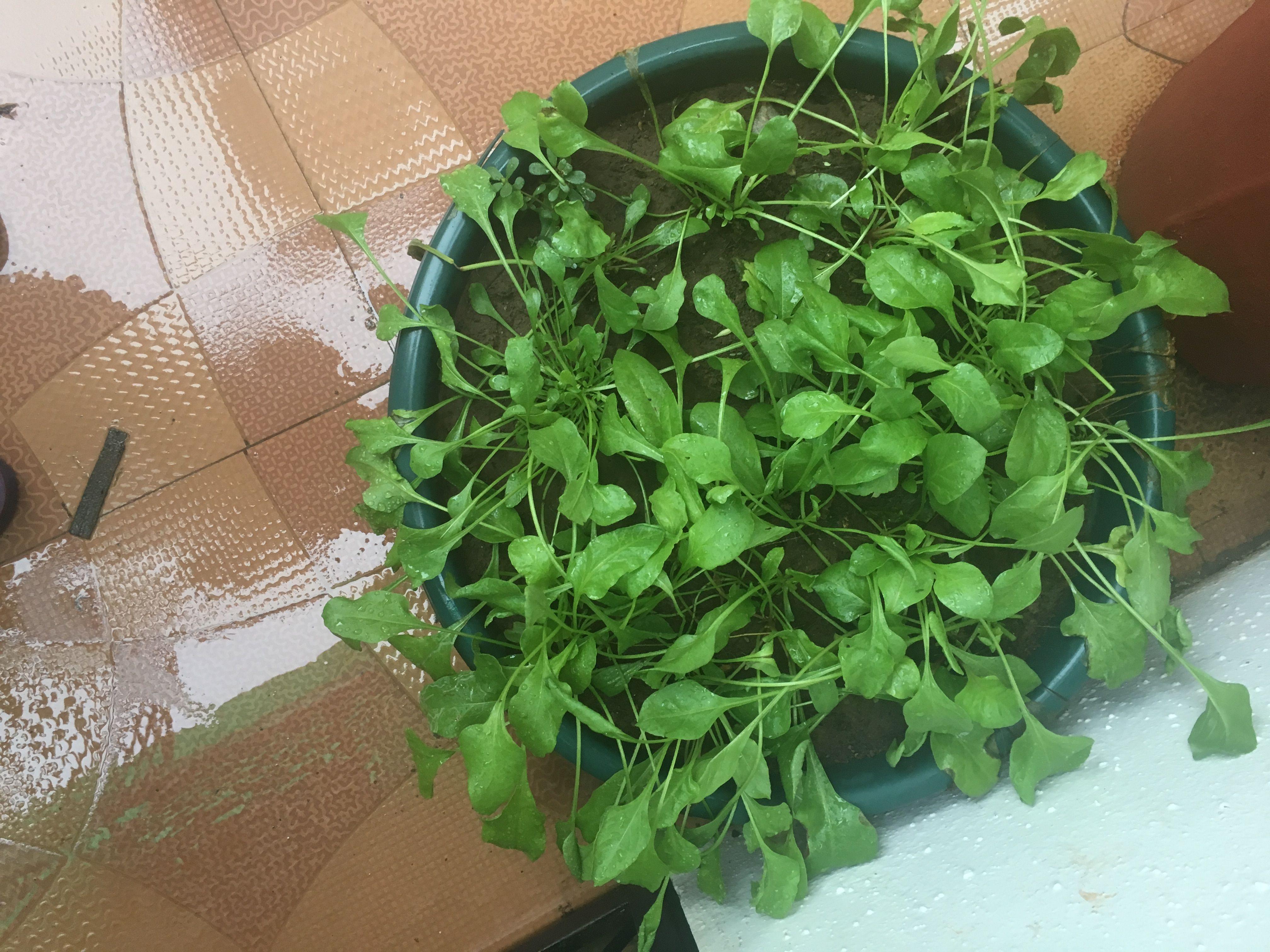 My Mini Spinach farm
