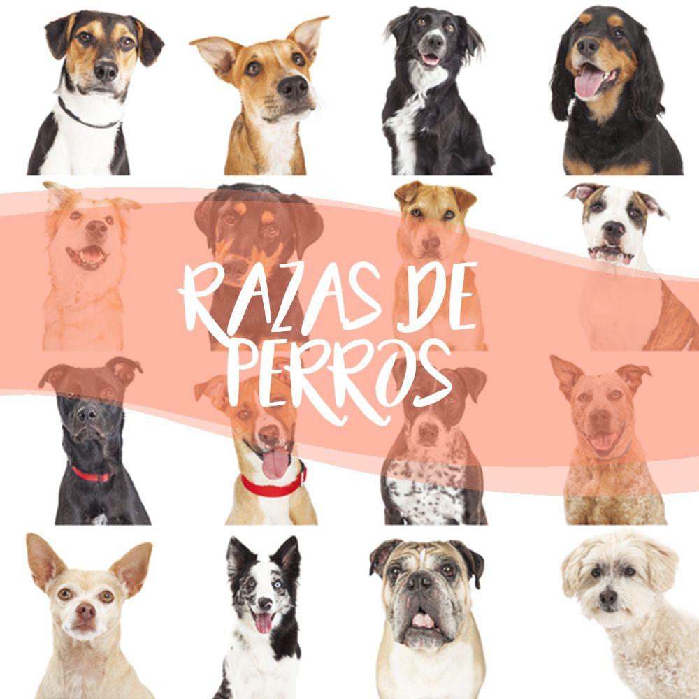 Información Sobre Todas Las Razas De Perros Es Lo Que Encontrarás En Este Tablero En Expertoanimal Te Lo Exp Razas De Perros Perros Diferentes Razas De Perros
