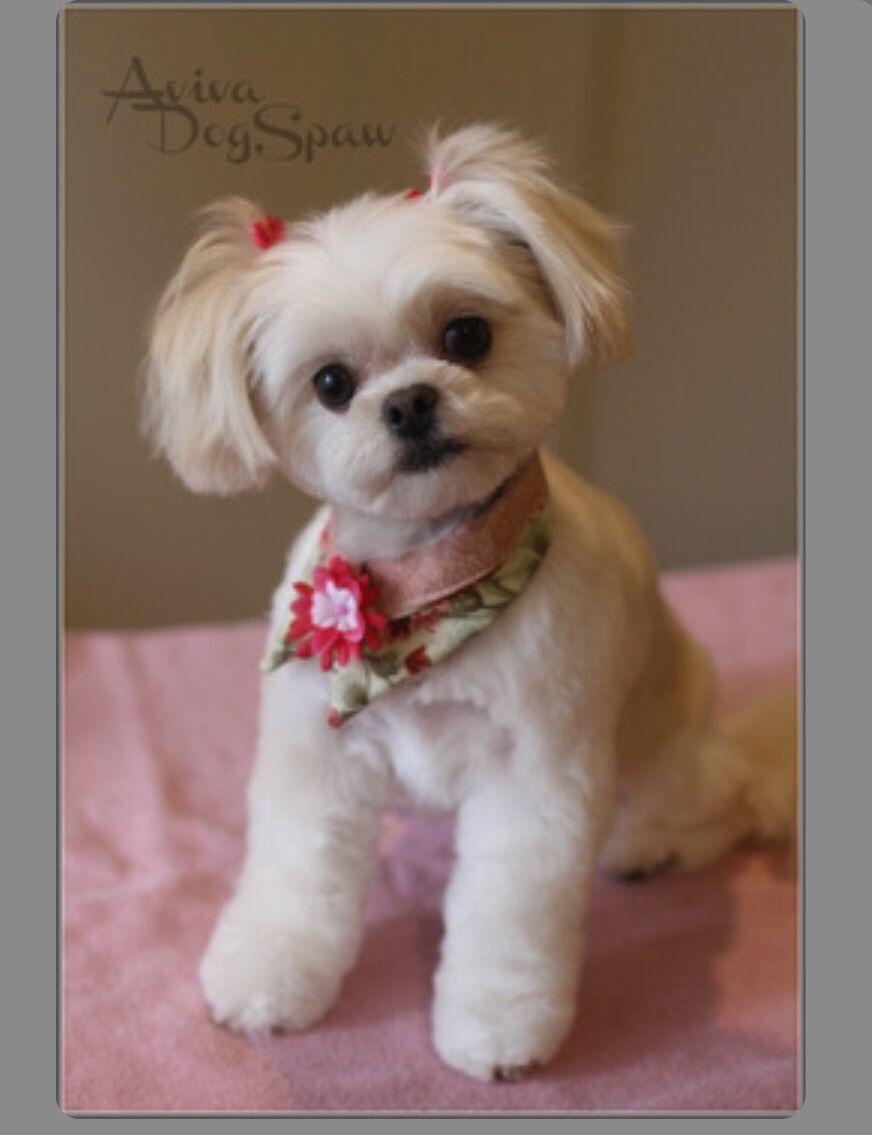 shih poo haircut styles pin by sylvia hubert on olympe dog haircuts dog