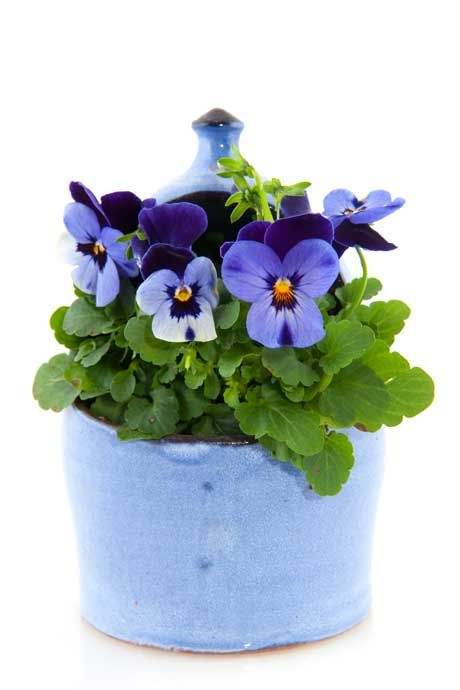 pretty container for pansies