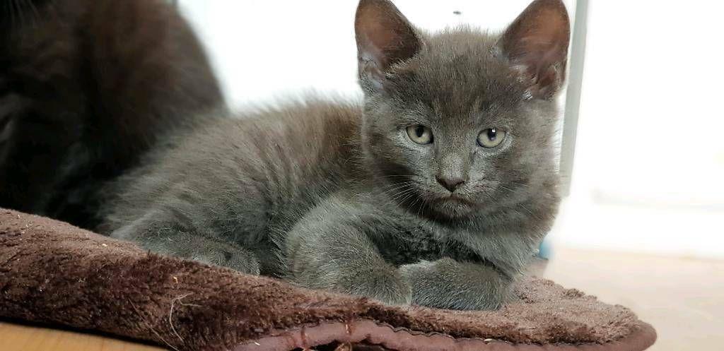Grey Boy Kitten For Sale In Kensington London Gumtree Grey