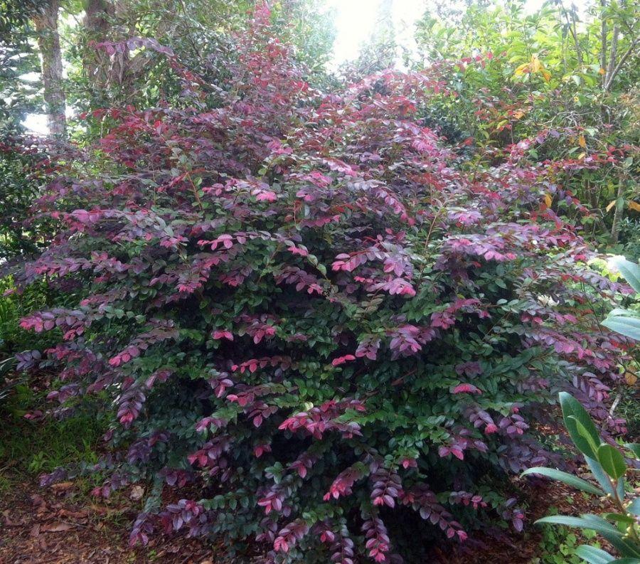 Loropetalum chinense loropetalum chinense brightens up for Garden trees shrubs