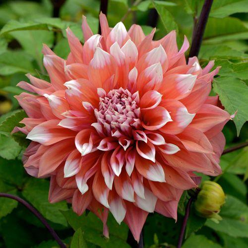 Plantes Bulbes Dahlia Holland Festival Dahlia Decoratif Ce Genre Comprend Environ 25000 Cultivars Vivaces Originai Fleurs De Dahlia Grosse Fleur Fleurs