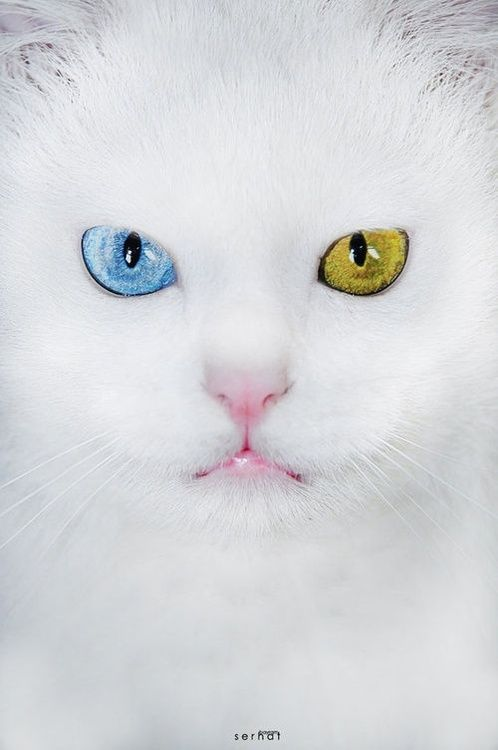 Pin By Diana Rae On Yellow And Teal Ish Blue 1 Beautiful Cats Turkish Van Cats Kittens