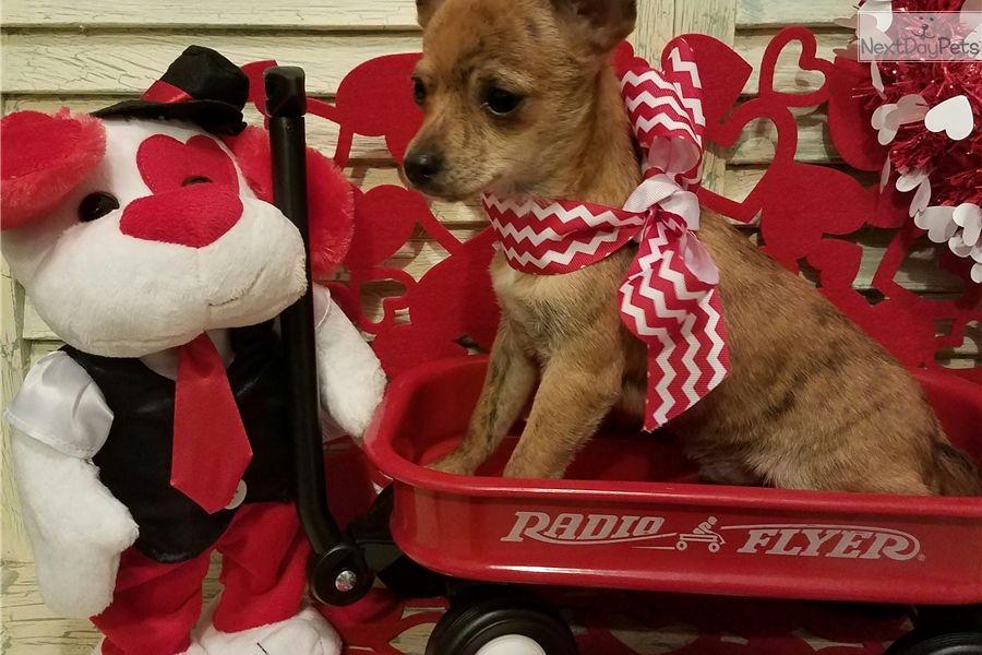 Chihuahua puppy for sale near houston texas f7cd4de6