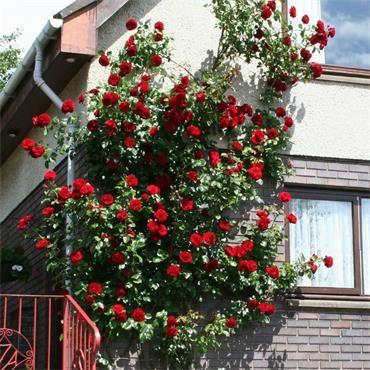 Dublin Bay Climbing Rose Johnstown Garden Centre Ireland