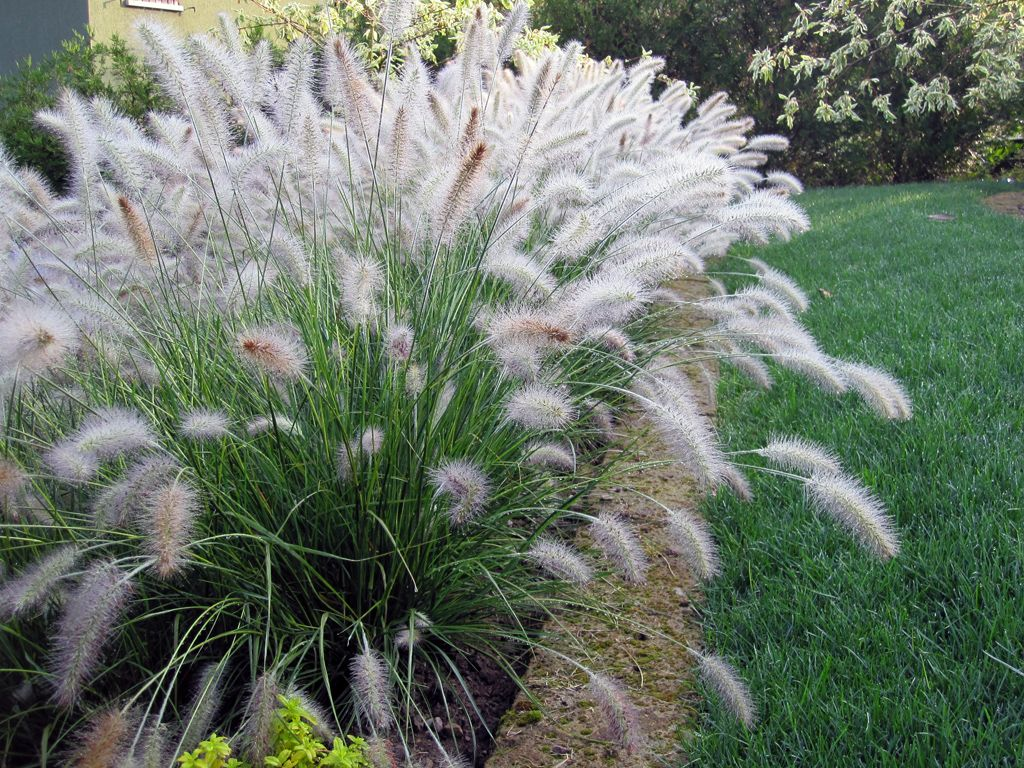 Adds a beautiful soft texture to the lavender and tall for Tall purple ornamental grass