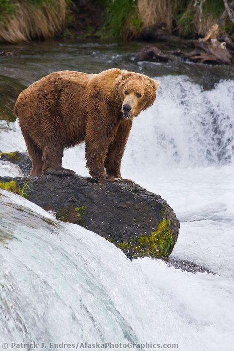 Brown bear fishes for salmon at the Brooks Falls, Katmai National park, Alaska.