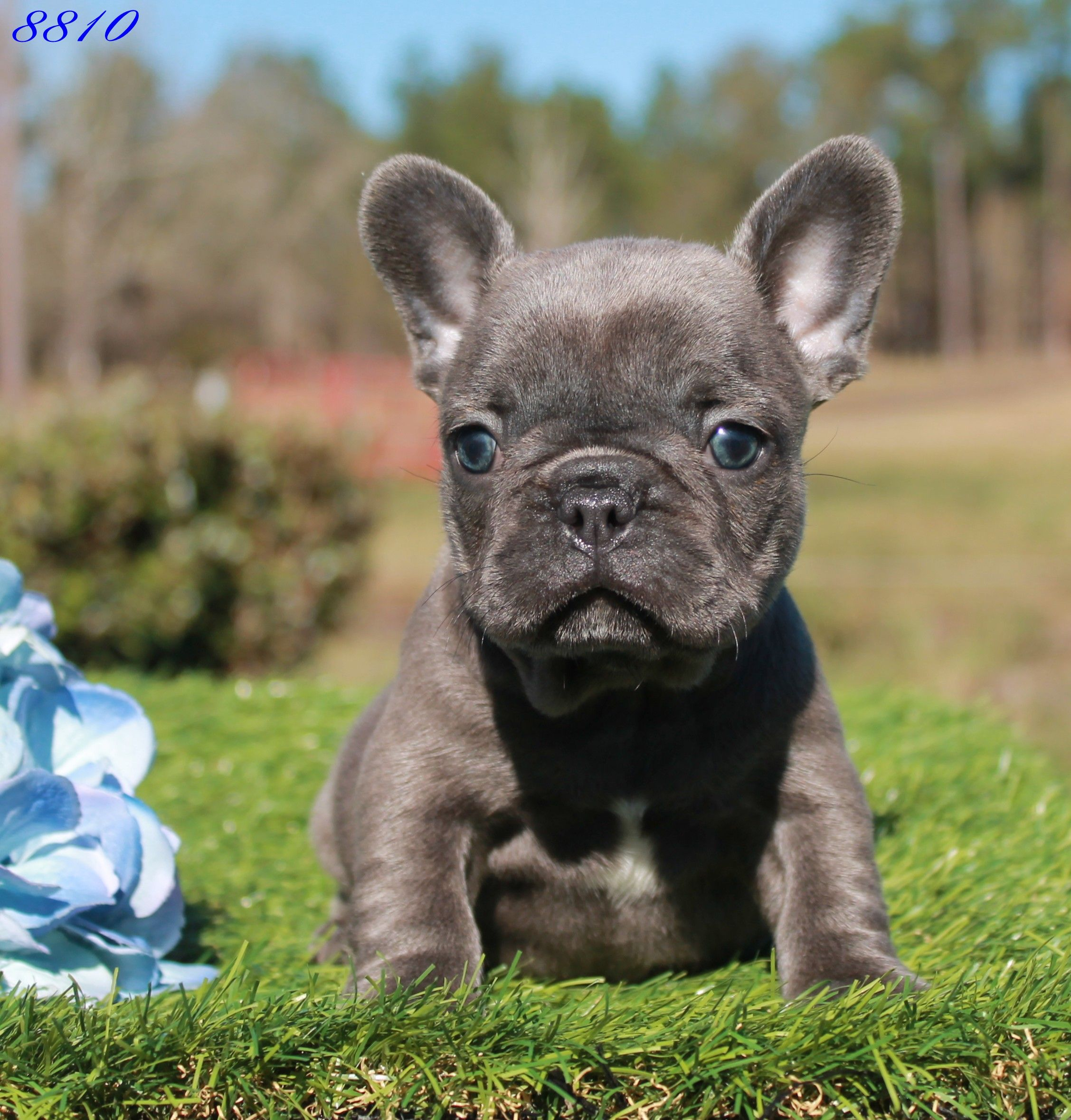 Home French Bulldog Puppies French Bulldog Blue Blue French
