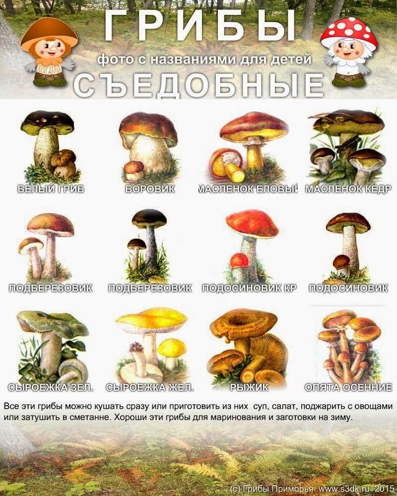 это съедобные грибы урала фото с названиями и описанием что
