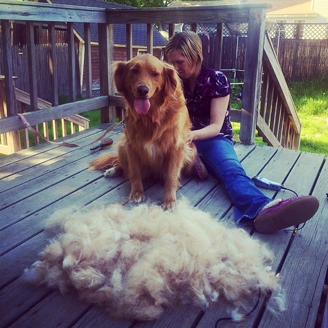 Last Sibshop Until Fall Golden Retriever Big Calves Furminator