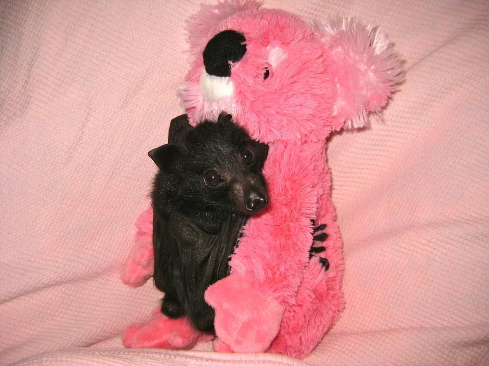 Fruit Bat Pink Koala Bear Cute Bat Cuddly Animals Bat Species