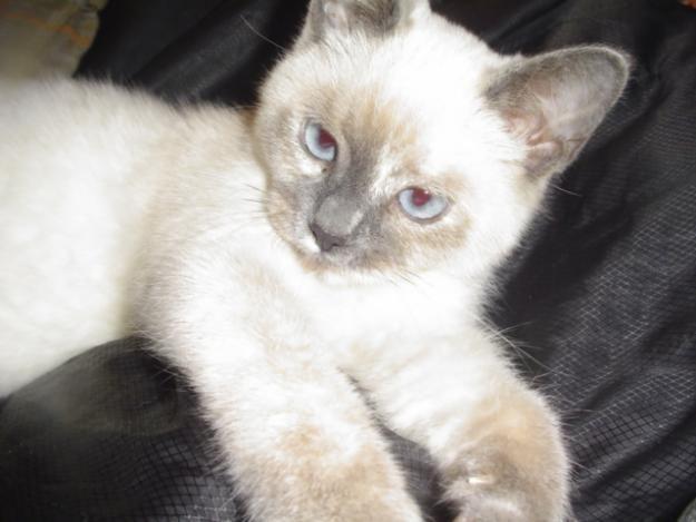 Blue Eyed Ragdoll Siamese Kitten It Looks Just Like Macy Her