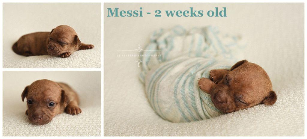 My Three Sons A Newborn Chihuahua Puppy Session By Newborn