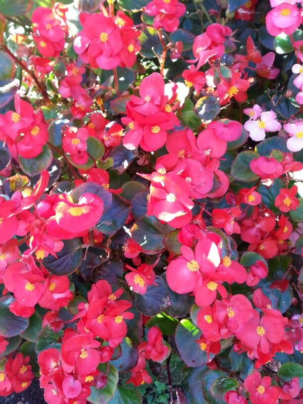 Ruby Begonia Plants Begonia Flowers