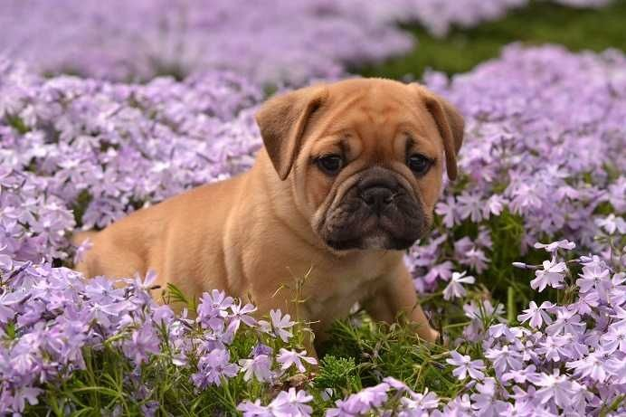 Pug Crossed With English Bulldog Miniature Bulldog Really Cute
