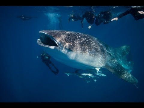 Whale Shark In Pompano Beach Florida Filmed By Dive Center